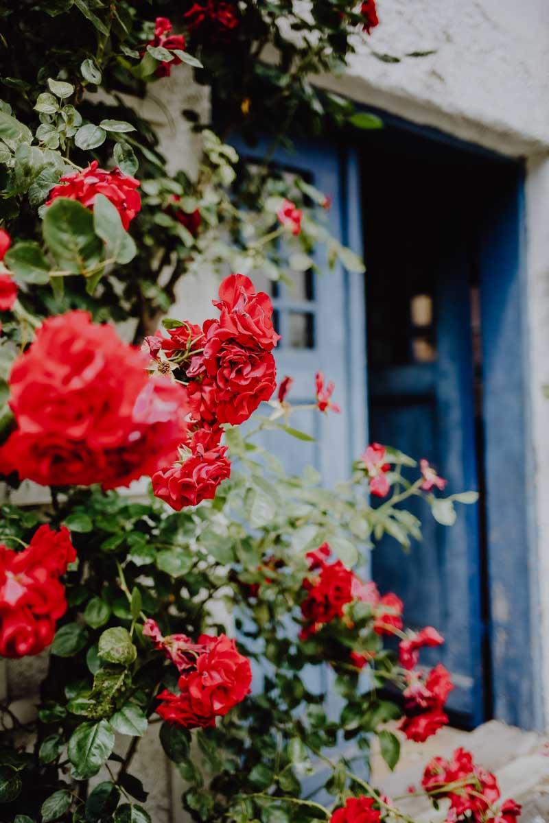 Rote Rosen vor blauer Tür